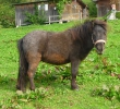Merlin auf der Weide